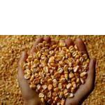 Кормова кукурудза замовити оптом (фото)