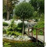Слива Prunuseminens Umbraculifera (фото)
