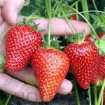 Саджанці полуниці Asia (фото)