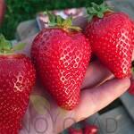 Саджанці полуниці (фото)