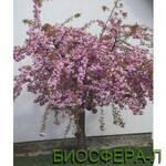 Сакура купить в Украине с доставкой (фото)