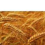 Пшениця 2 клас купити (фото)
