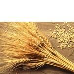 Пшениця оптом (фото)