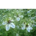 Чорнушка цвіт (фото)