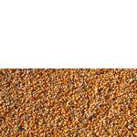 Кормова кукурудза (фото)