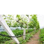 Столовые сорта винограда от ЧП Анастюк