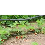 Саженцы клубники с ягодами