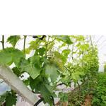 Комплексно-устойчивые сорта винограда