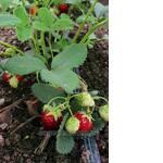 Саженцы клубники, ягоды