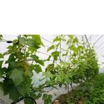 Комплексно-устойчивый виноград