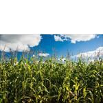 Растения от семян кукурузы Пионер устойчивы к стресам, вредителям и болезням