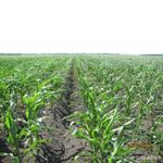 Растения семян кукурузы устойчивы к вредителям, болезням, холоду и засухе, прекрасно адаптированы для выращивания в украинском климате