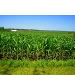 Семена кукурузы Пионер - наивысшие результаты урожайности во всем мире