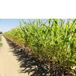 ЧП Агроспецпроект продает семена кукурузы различного назначения: на зерно, крупу, силос, сахарную и для попкорна от американской компании Пионер
