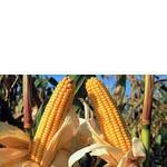 ЧП Агроспецпроект реализует посевной материал кукурузы от американской компании-оригинатора Пионер