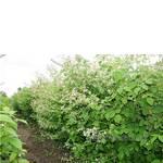 Саженцы малины в цвету