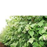 Саженцы малины: скоро урожай!