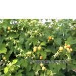 Саженцы желтой малины