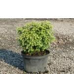 Тсуга канадська (Tsuga canadensis). Купити хвойні рослини (оптом та вроздріб) / Тсуга канадская (Tsuga canadensis). Купить хвойные растения (оптом и в розницу)