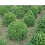 Буксус, пальма кавказька, пальмове дерево, Common box, Boxwood / Буксус, пальма кавказская, пальмовое дерево, Common box, Boxwood