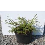 Хвойна рослина (туя) - доставка по Україні / Хвойное растение (туя) - доставка по Украине