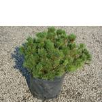 Сосна гірська мугус. Хвойні рослини (ціна, фото, догляд) / Сосна горная мугус. Хвойные растения (цена, фото, уход)