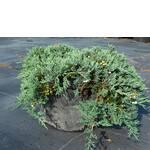 Ялівець горизонтальний Вілтоній. Продаються хвойні рослини / Можжевельник горизонтальный Вилтоний. Продаются хвойные растения