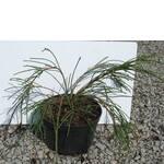 Туя - хвойна рослина. Купити хвойні рослини в Україні / Туя - хвойное растение. Купить хвойные растения в Украине