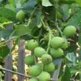 Выращивание саженцев грецкого ореха Костюженский