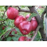 Вирощування яблук Камео