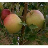 Вирощування яблук Чемпіон