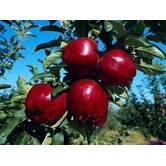Вирощування яблук Айдаред