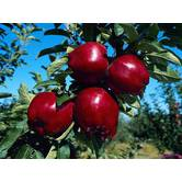 Выращивание яблок Айдаред