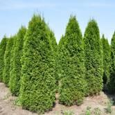 Туя: вирощування саджанців