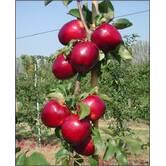 Вирощування яблук Моді