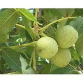 Выращивание саженцев ореха Когыльничану