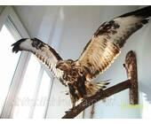 Опудало орла