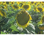 Насіння соняшника Л 14-02 ТЗ LABOULET, купити в Україні