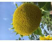 Насіння соняшника Л 15-15 I, купити