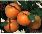 Гибрид слива-абрикос Априум