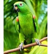 Предлагаем попугаев Амазонов