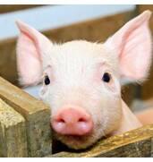 Реализуем концентраты для свиней