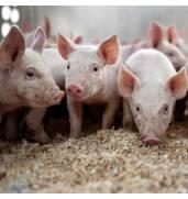 Реализуем БВМД для свиней