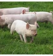 Продается комбикорм для свиней