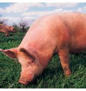 Предлагаем купить биодобавки для свиней