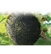 Семена подсолнечника - купить выгодно в «ЕвроАгроТрейд»