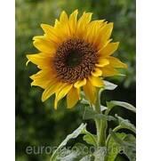 Качественный посевной материал подсолнечника - залог вашего урожая