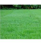 Газонна трава конюшина - доставка вся Україна