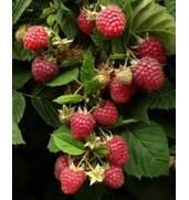 Предлагаем купить саженцы малины Крепыш (Харьков, Тернополь)
