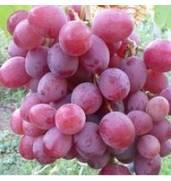 Купить саженцы винограда, Украина (Киев, Львов)